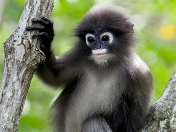 Monkey - Pyragraph