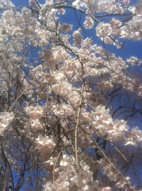 Cherry blossoms everywhere! Photo courtesy of Jeremy Young.