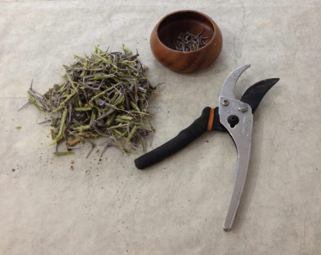 Ocotillo thorn clippings. Photo by Danila Rumold - Pyragraph