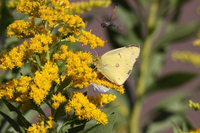Pollinator moth - Pyragraph