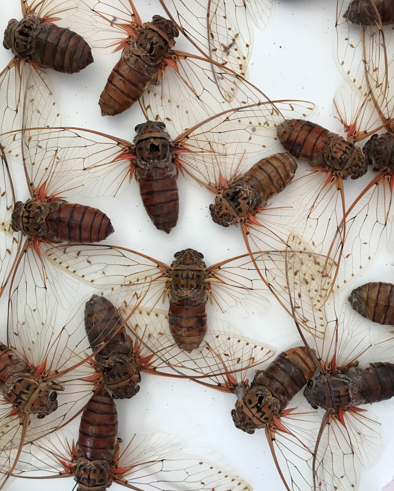 Malayian cicadas - Pyragraph